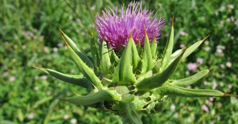 Máriatövis (Silybum marianum L.)