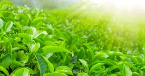 Zöldtea