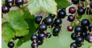 Fekete ribizli (Ribes rignum)