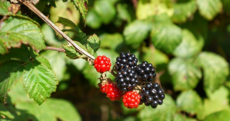Fekete Szeder (Rubus fruticosus)
