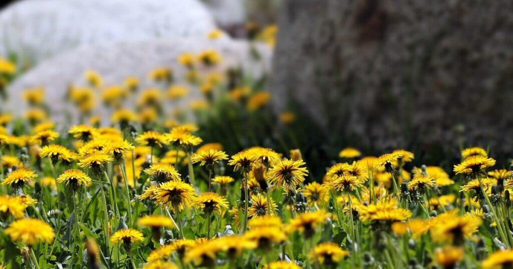 Biokertészet - Pitypang: patikaszer kertnek, embernek