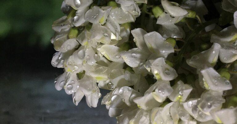 Fehér akác (Robinia pseudoacacia)