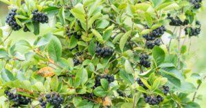 Fekete berkenye (Aronia melanocarpa)