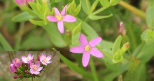 Kisezerjófű (Centaurium erythraea)