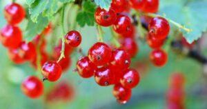 Piros ribizli (Ribes rubrum)
