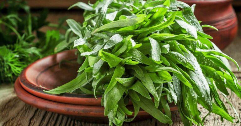 Tárkony (Artemisia dracunculus L.)