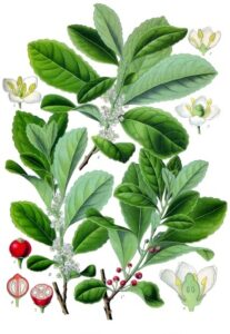 Ilex paraguariensis - Köhlers Medizinal-Pflanzen-074