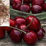 Mire jó a cseresznye kocsánya?